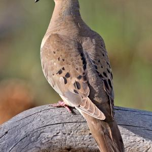 Texas Parks & Wildlife Announces 2010-2011 Dove Season